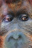 Orangutan monkey head. With beautiful brown eyes royalty free stock image