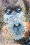 Orangutan monkey head. With beautiful brown eyes royalty free stock photography
