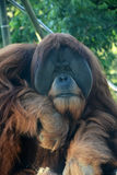 Orangutan monkey Royalty Free Stock Images