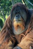 Orangutan monkey Royalty Free Stock Photo