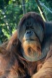 Orangutan monkey Royalty Free Stock Image