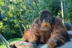 Orangutan monkey Stock Images