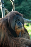 Orangutan monkey Royalty Free Stock Image