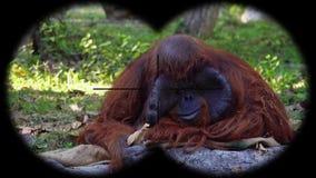 Orangutan monkey pongo seen through binoculars. Watching animals at wildlife safari. Shot with a Sony a6300 fps 29,97 4k stock footage
