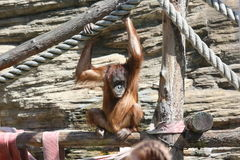 Orangutan in Moscow Zoo. Young red orangutan is holding onto the thick rope in avairy of Moscow zoo Royalty Free Stock Photography