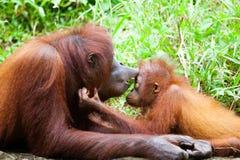 Orangutan mother Royalty Free Stock Images