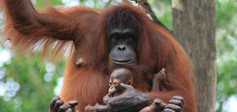 Orangutan mother and baby stock image