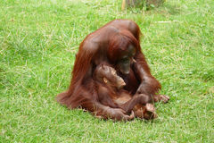 Orangutan mother with baby Stock Photography