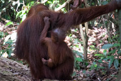 Orangutan mother and baby Royalty Free Stock Images