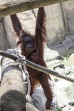 Orangutan Mother & Baby Hanging Stock Photo