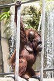 Orangutan Mother and Baby On Ropes Stock Photos