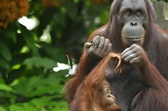 Orangutan, Mother and Child Stock Photo