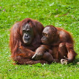 Orangutan mother and child Stock Images