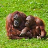 Orangutan mother and child Stock Images