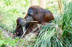 Orangutan mother eating Royalty Free Stock Photos