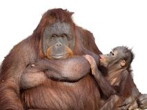 Orangutan mother feeding her son royalty free stock photo
