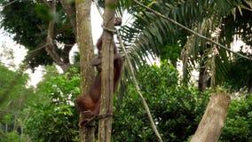 Orangutan na drzewie zbiory wideo