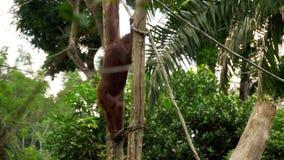 Orangutan na drzewie zdjęcie wideo