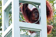 Orangutan at the National Zoo Washington, DC. Stock Image