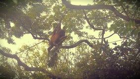 Orangutan nel giardino zoologico di Singapore Immagine Stock Libera da Diritti