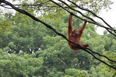 Orangutan nel giardino zoologico di Singapore Fotografia Stock Libera da Diritti