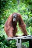 Orangutan nel tanjung che mette parco nazionale Fotografia Stock