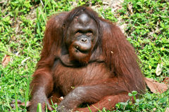 Orangutan in nightsafari chiangmai thailand Stock Image
