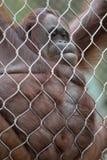 Orangutan obwieszenie na Łańcuszkowych połączeniach obraz royalty free
