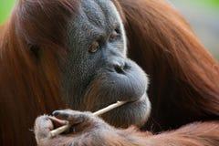 Orangutan łasowanie Obrazy Royalty Free