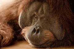 The orangutan Royalty Free Stock Images