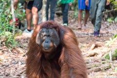 Orangutan. S Camp Leakey Kalimantan / Borneo Royalty Free Stock Photography