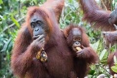 Orangutan. S Camp Leakey Kalimantan / Borneo Stock Photography