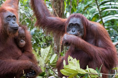 Orangutan. S Camp Leakey Kalimantan / Borneo Royalty Free Stock Photo