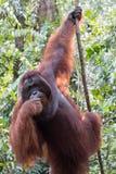 Orangutan. S Camp Leakey Kalimantan / Borneo Stock Images
