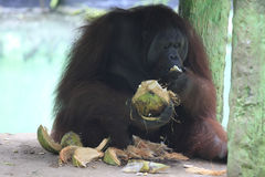 Orangutan. S are eating at the zoo Solo, Central Java, Indonesia stock photography