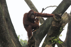Orangutan. S are eating at the zoo Solo, Central Java, Indonesia stock images