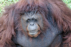 Orangutan. The orangutans are the two exclusively Asian species of extant great apes. Native to Indonesia and Malaysia, orangutans are currently found in only Stock Images