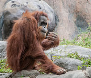 Orangutan Peeking at Crowd. A large orangutan checks out a crowd of people checking him out royalty free stock photo