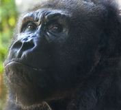 Orangutan Pensive Fotografia Stock