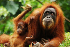 Orangutan. Photo taken in jungle of Sumatra Stock Photos