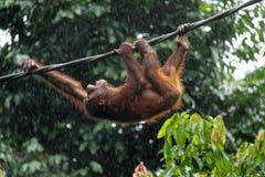 Orangutan in pioggia Fotografia Stock Libera da Diritti