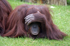 Orangutan playing. Orangutan ape playing at hide and seek Stock Image