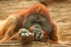 Orangutan (Pongo pygmaeus). Boneo orangutan (Pongo pygmaeus) in Moscow Zoo Royalty Free Stock Photo
