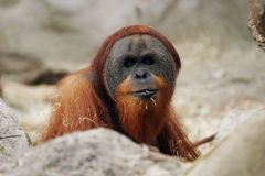 Orangutan, Pongo pygmaeus abelii Stock Image
