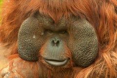 Orangutan (Pongo pygmaeus). Boneo orangutan (Pongo pygmaeus) in Moscow Zoo Royalty Free Stock Photography