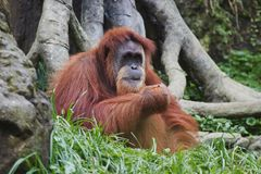 Orangutan (Pongo pygmaeus), Borneo, Indonesia Royalty Free Stock Image