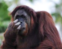 Orangutan (Pongo pygmaeus) portrait Royalty Free Stock Photo