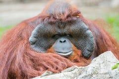 Orangutan (Pongo pygmaeus) portrait Royalty Free Stock Photography