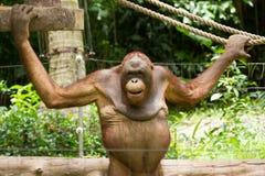 Orangutan (Pongo pygmaeus) in Saigon (Vietnam) Stock Image