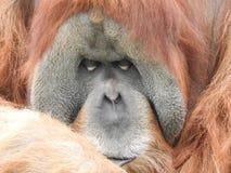 Orangutan, Pongo pygmaeus stock images